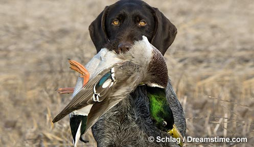 Waterfowl Hunting In Nh New Hampshire Fish And Game