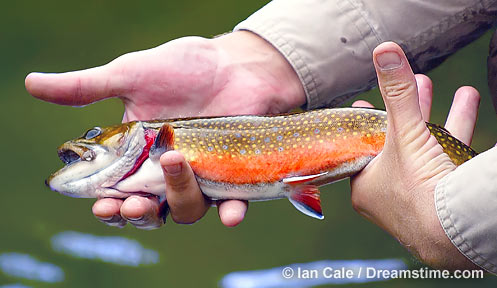 Nh trout stocking report fishing new hampshire fish for Mass commercial fishing license