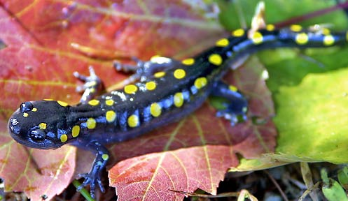 Spotted Salamander Nongame New Hampshire Fish And Game