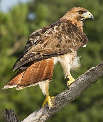 Red tailed hawk nongame new hampshire fish and game - Red tailed hawk wallpaper ...
