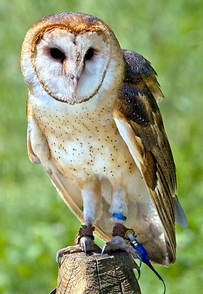 Barn Owl Nongame New Hampshire Fish And Game Department