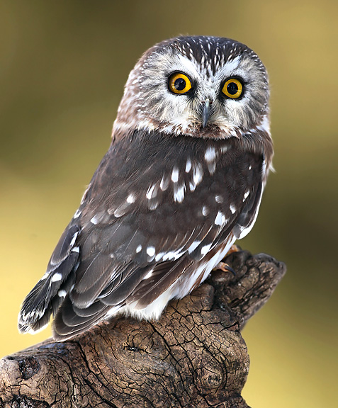 northern saw whet owl nongame new hampshire fish and game department