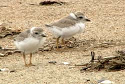 Piping plover chicks