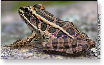 Pickerel Frog