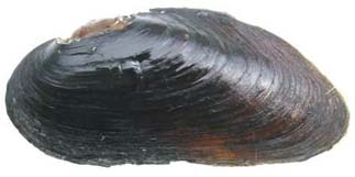 Eastern Pearlshell