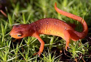 Eastern/Red-spotted Newt