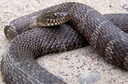 N H Reptiles Northern Water Snake |...