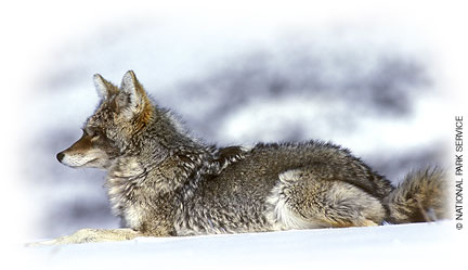 Eastern Coyote Wildlife New Hampshire Fish And Game