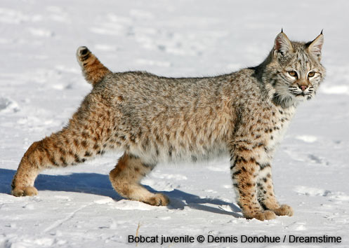 Bobcat | Wildlife | New Hampshire Fish and Game Department